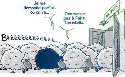 mouton-noir-intello-abattoir